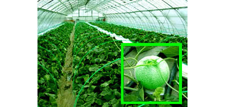 melong3 Japans Cadillac of melons Yubari melons fetches record 2 million yen